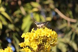Sunbird, purple sunbird, Plumage, breeding plumage, black
