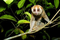 Sunda loris (nycticebus coucang) perched on a tree. Living the fig fruit at night. It is often smuggled as pets and food. Wildlife crimes in Asia.