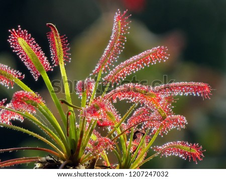 Sundew - a type of insectivorous plant