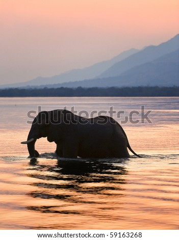 Sundown. Elephant on the river Zambezi.