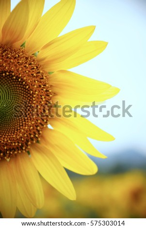 sunflower #575303014