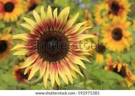 sunflower #592975385