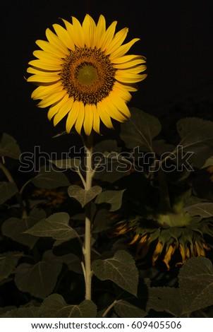 sunflower #609405506