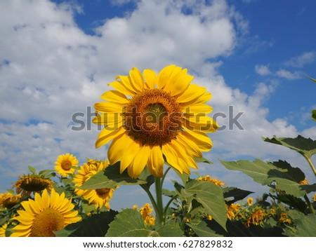 sunflower #627829832