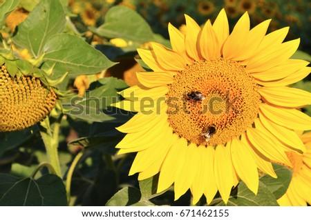 sunflower #671462155