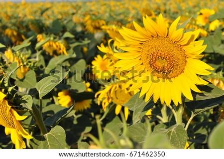 sunflower #671462350