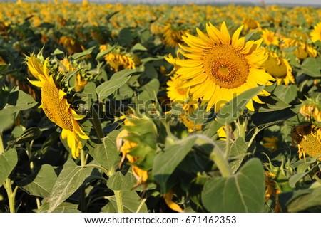sunflower #671462353