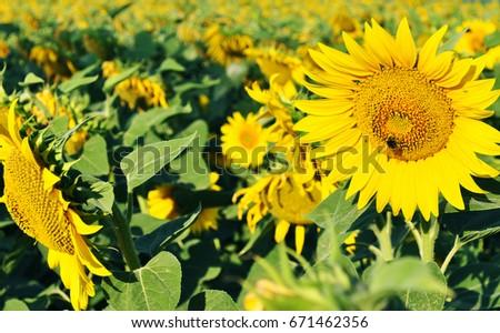 sunflower #671462356