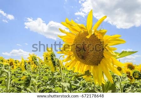 sunflower #672178648