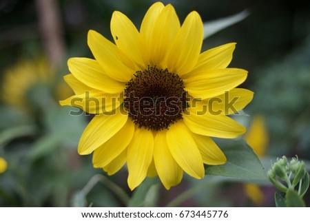 Sunflower #673445776