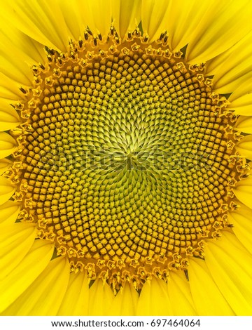 Sunflower #697464064
