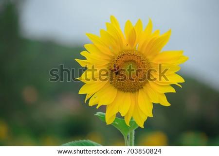 Sunflower #703850824