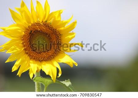 sunflower #709830547
