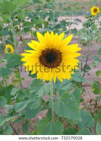 Sunflower #732570028
