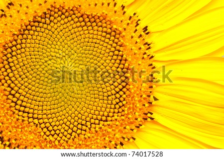 sunflower #74017528