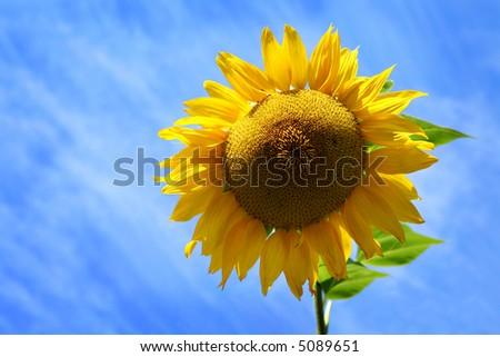 Sunflower against Blue, Cloudy Sky