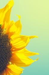 sunflower against sky closeup, retro vintage instagram filter effect