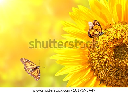 Sunflower and monarch butterflies (Danaus plexippus, Nymphalidae) on blurred yellow sunny background. Mock up template. Copy space for your text