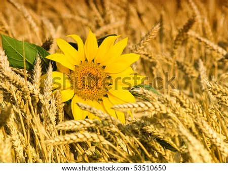 Sunflower and wheat