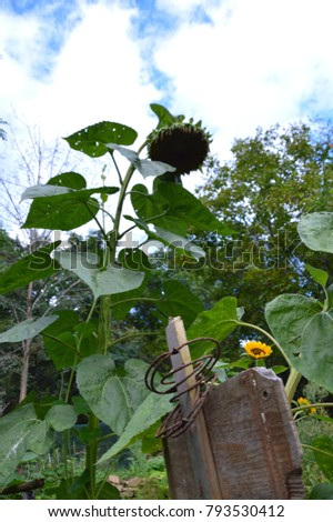 Sunflower appearing from a wodden sign in a green lush field with high green plants and blue sky with clouds #793530412