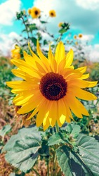 Sunflower at sunny day in the sunflower field. Sunflower field at the morning
