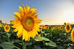sunflower at sunset