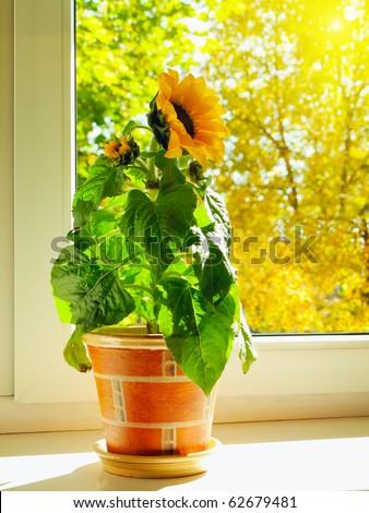 sunflower at windowsill against sunny autumn day