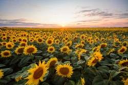 Sunflower background. Big field of blooming sunflowers against setting sun in countryside