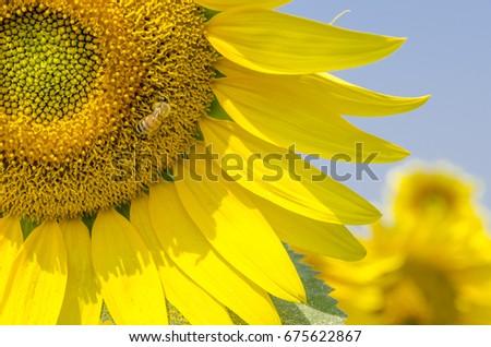 Sunflower Bee #675622867