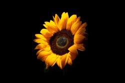 SunFlower Black background