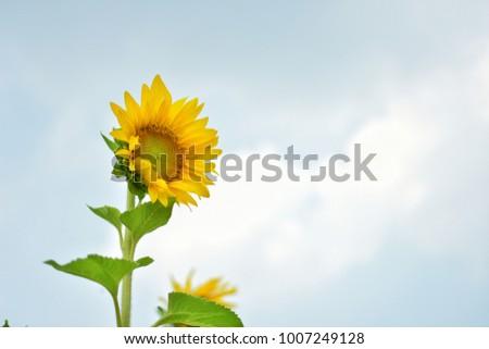 sunflower,Blackground Sunflower,Sunflower has sky #1007249128