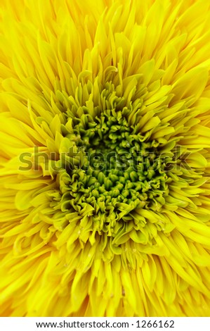 Sunflower - blooming and double