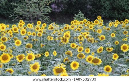 Sunflower blooms Yellow flower In full bloom cute flowers #1489532903
