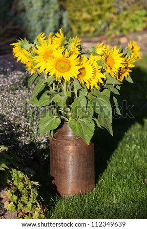 sunflower bouquet in a metal milk churn standing in the garden