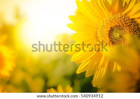 Sunflower circle big yellow flower warm Background reflective light from the sun concept of hope energy and enthusiasm for life