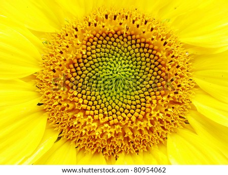 sunflower close- up