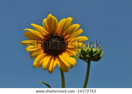 Sunflower close up against a blue sky - stock photo