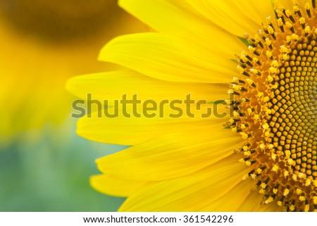 Sunflower close up. Bright yellow sunflowers. Sunflower background. #361542296