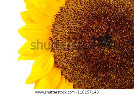 sunflower close-up isolated on white with copyspace