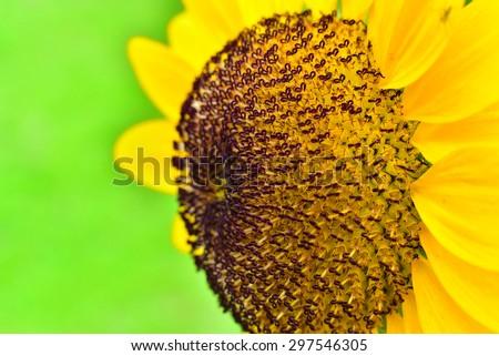 Sunflower.Close-up of sun flower .Sunflower macro.