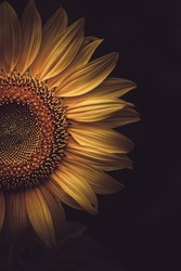 Sunflower close up shoot in black background