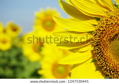Sunflower closeup view and blur background #1247530441