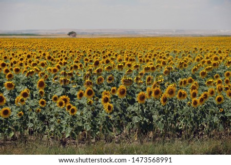 Sunflower cultivation in and around Karaman (Turkey) is an important source of livelihood