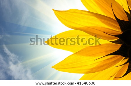 Sunflower detail isolated on white background