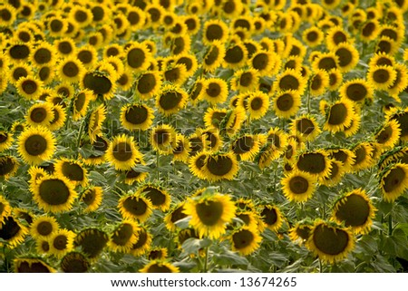 marche sunflower fields