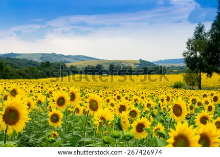 Stock Photo sunflower field