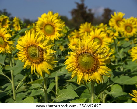 Sunflower field #356697497