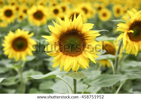 Sunflower field #458751952