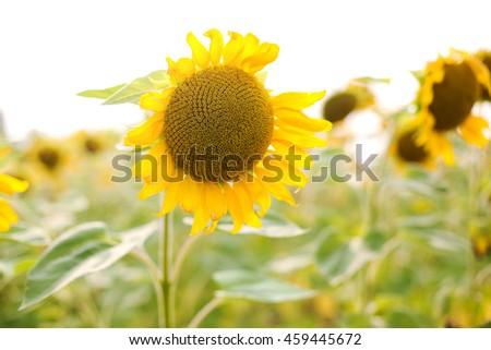 Sunflower field - Shutterstock ID 459445672