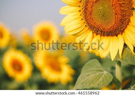 Sunflower field - Shutterstock ID 461558962